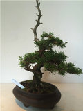 Bonsai Juniperus chinensis Itoigawa