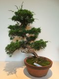 Bonsai Juniperus chuchin