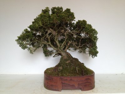 Bonsai Chamaecyparis