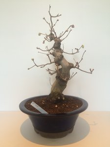 Bonsai Corylopsis